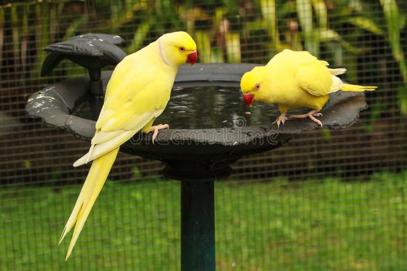 Male and female yellow Indian ring-necked parakeets at a bird bath. A pair of Indian ring-necked parakeets Psittacula krameri, aka rose-ringed parakeets of the stock photos