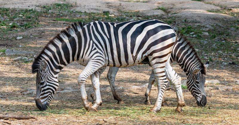 Male and female zebras feeding on grass in opposite direction. Chiang Mai, Thailand royalty free stock photos