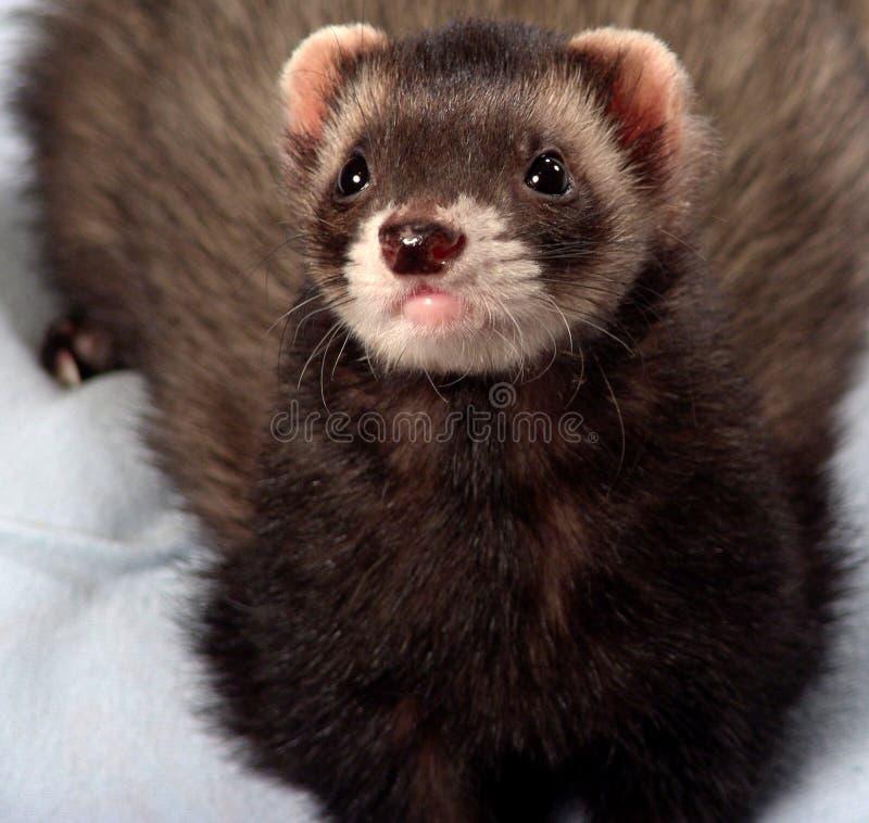 Male ferret royalty free stock image