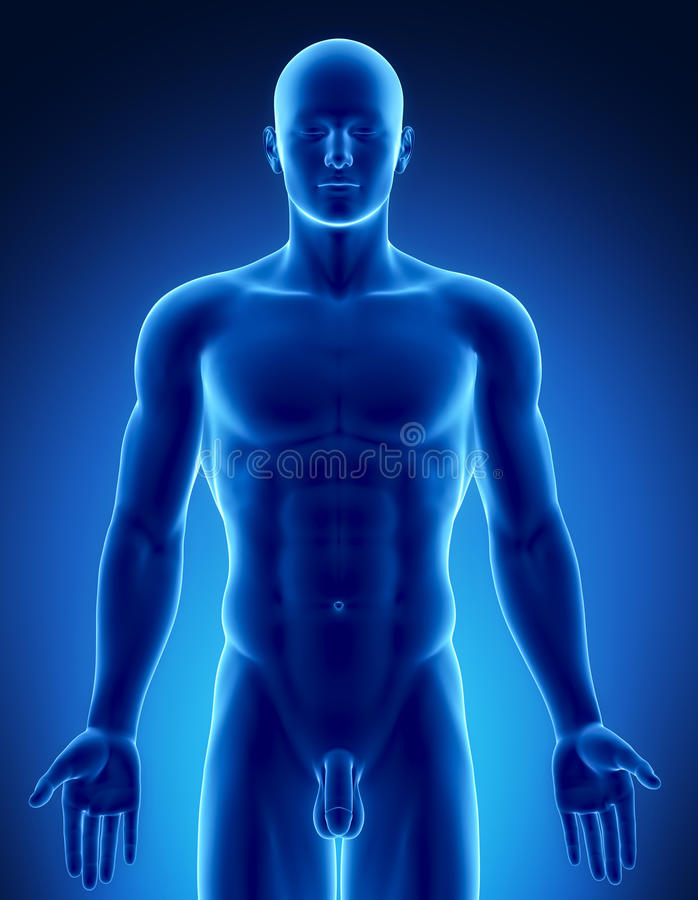 Male figure in anatomical position upper part vector illustration
