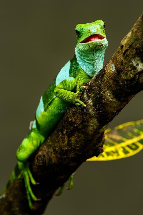 Male Fiji banded iguana Brachylophus fasciatus on Viti Levu Is stock photography