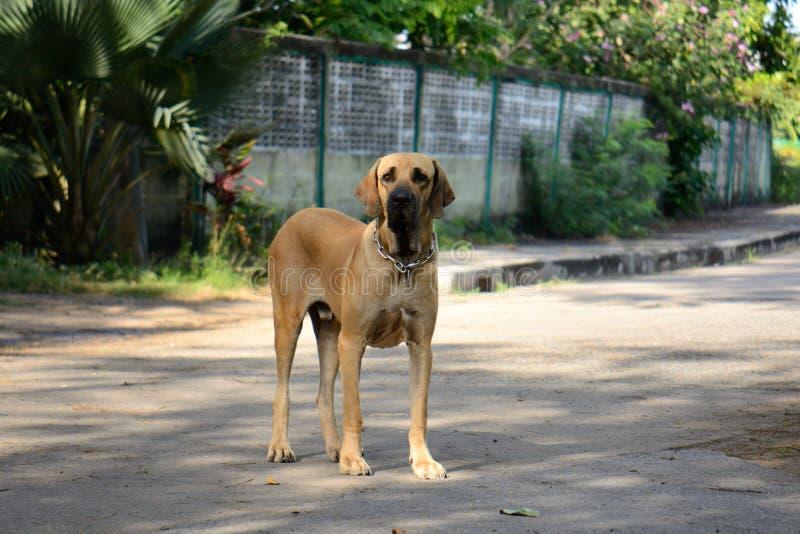 Male Fila Brasileriro dog. Beautiful male Fila Brasileriro dog protecting his house stock image