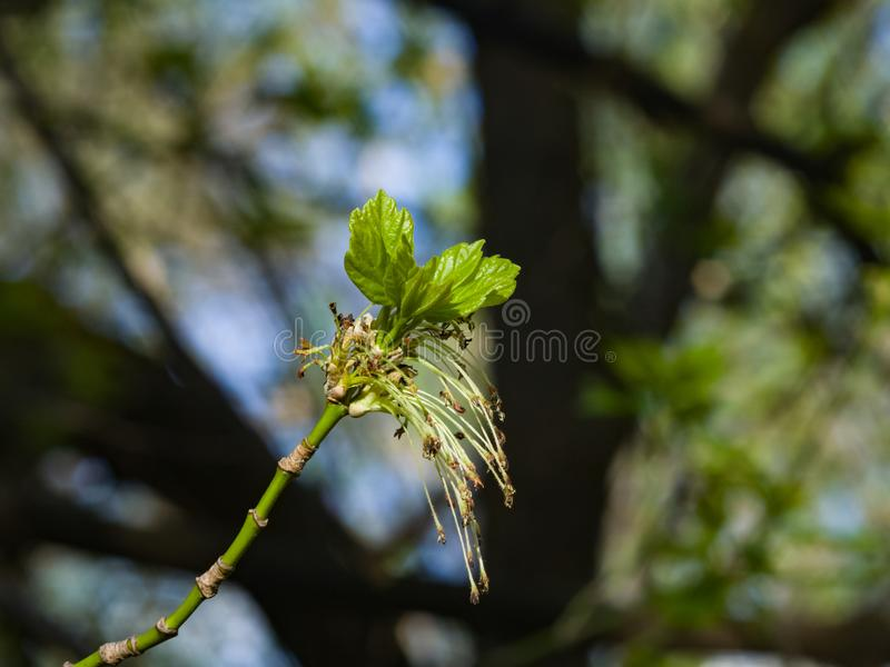 Male flowers on branch ash-leaved maple, Acer negundo, macro with bokeh background, selective focus, shallow DOF.  royalty free stock image