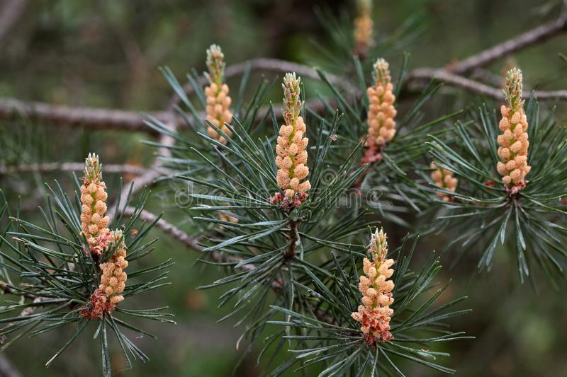 Male Flowers of a Scots Pine. (Pinus sylvestris royalty free stock photo