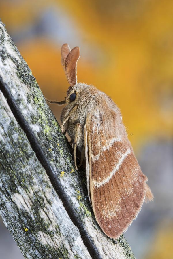 Male fox moth Macrothylacia rubi. Insect of the family Lasiocampidae resting on a trunk. Male fox moth Macrothylacia rubi. Insect of the family Lasiocampidae stock image