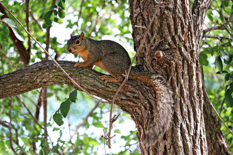 A male fox squirrel standing on a limb in a large oak tree. royalty free stock photo