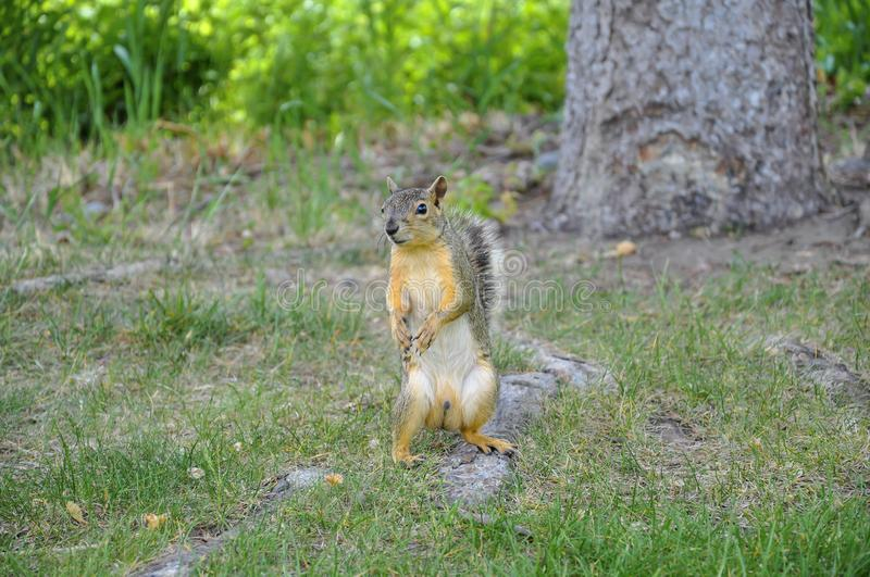 Male fox squirrel standing on it`s hind legs looking at camera stock image