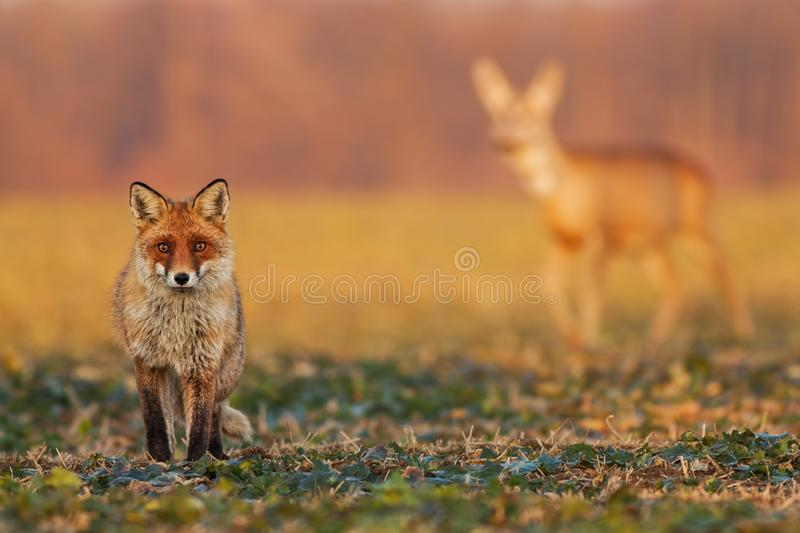 Male fox, vulpes vulpes, standing on the field and watching, roe deer, capreolus capreolus, doe walking in the stock images