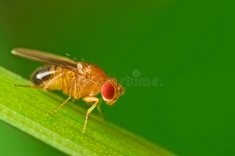 Male fruit fly on a blade of grass macro stock photography