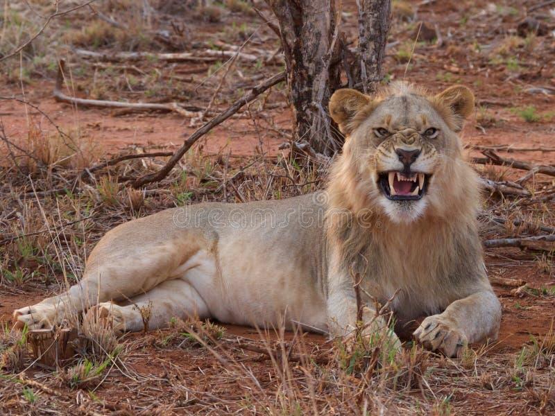 male gäspa barn för lion royaltyfria bilder