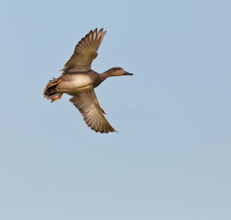 Free Male Gadwall Duck In Flight Royalty Free Stock Photography - 18791007