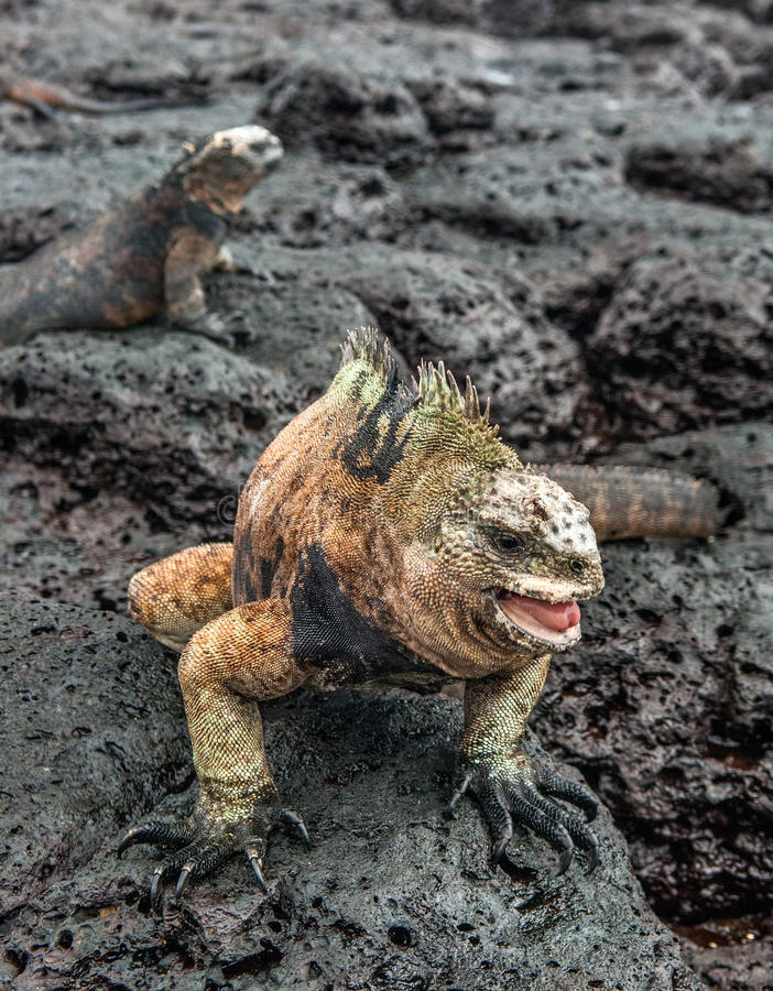 Download A Male Of Galapagos Marine Iguana Stock Photo - Image: 83723902