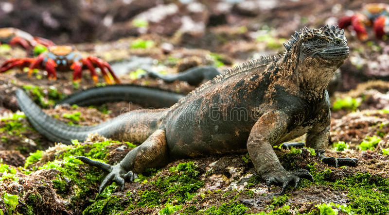 Download A Male Of Galapagos Marine Iguana Stock Image - Image: 83724245