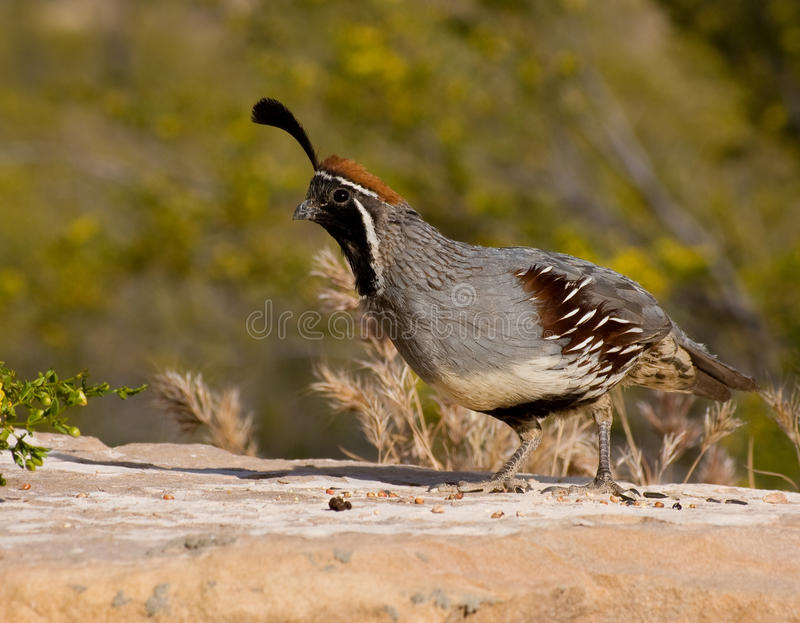 Download Male Gambel's Quail Stock Photo - Image: 9457660