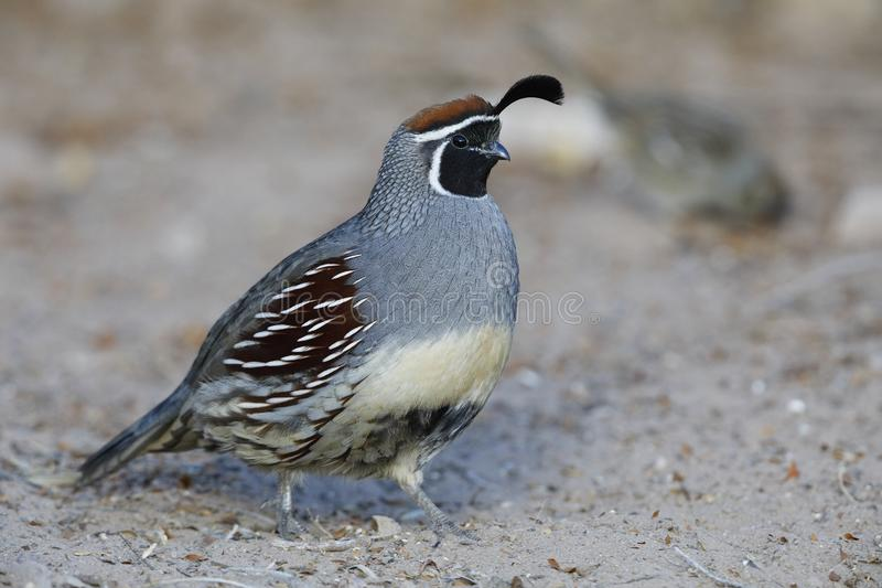 Male Gambel`s Quail royalty free stock images