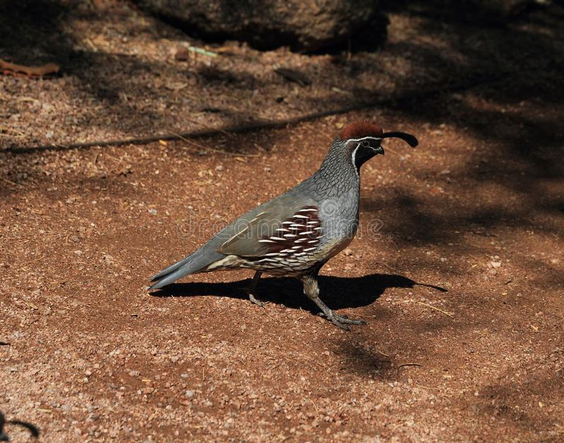 Male Gambel`s Quail of the Desert Southwest. Gambel`s Quails have a relatively short neck, a small bill, and a square tail. Remarkable is the bobbing topknot of stock images