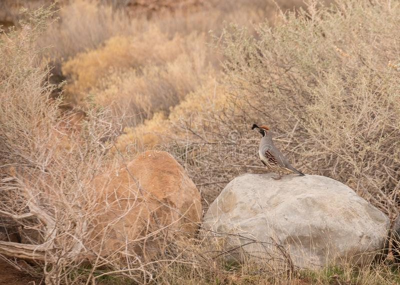 Male Gambel`s quail marching across a sandstone rock stock photography