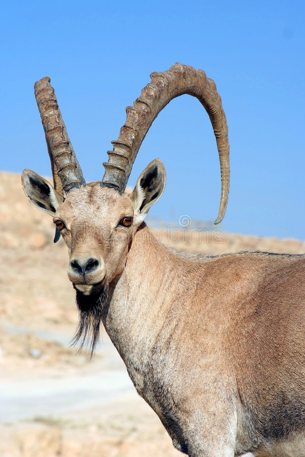Male Gazelle of the Desert. Israel stock photo