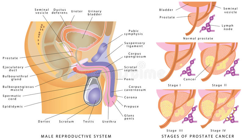 Male Genitourinary System stock vector. Illustration of anatomy ...