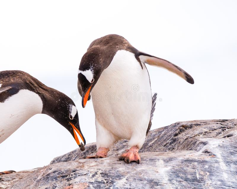 Male gentoo penguin offering stone to female, who is bowing while standing on rock, Mikkelsen Harbour on Trinity royalty free stock photos