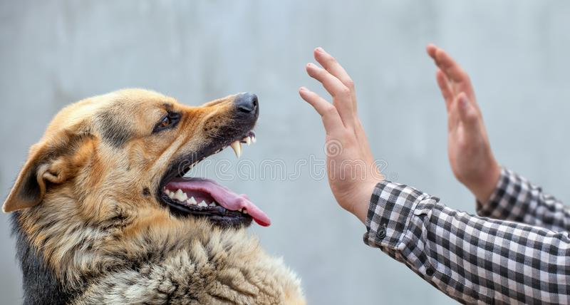 Male German shepherd bites a man by the hand. stock photo