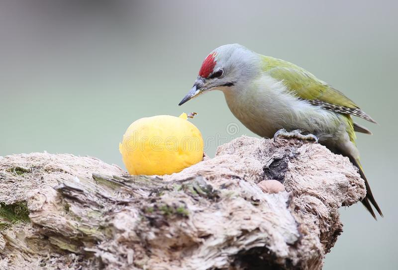 A male of gey headed woodpecker sits on the log and eats large yellow apple. A scene is isolated on nice blurred background royalty free stock photos
