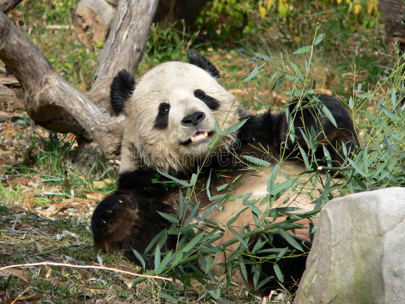 Download Male Giant Panda stock image. Image of cute, protected - 645923