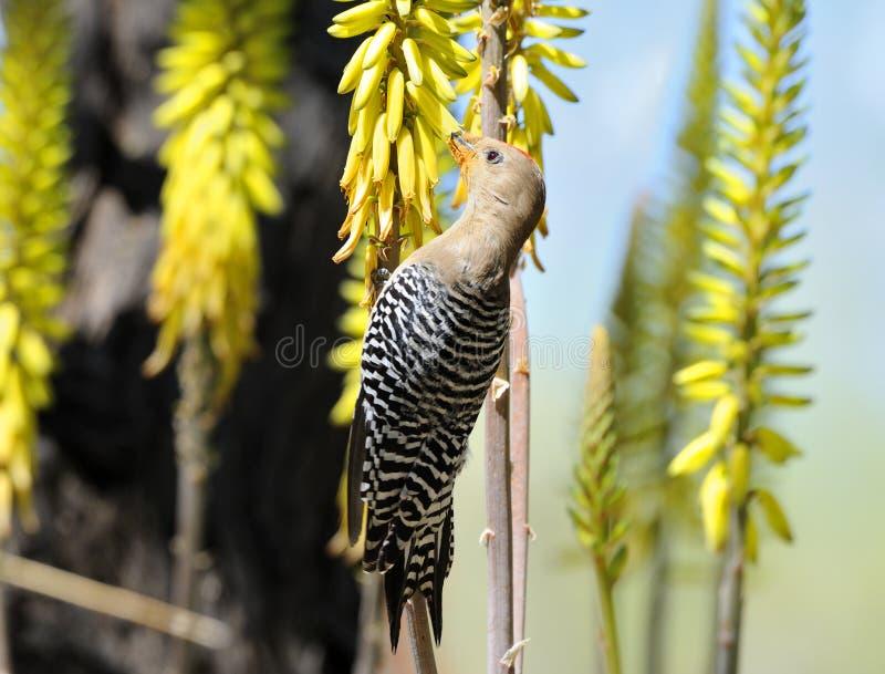 Male Gila Woodpecker Feeding on Yellow Flower royalty free stock photos