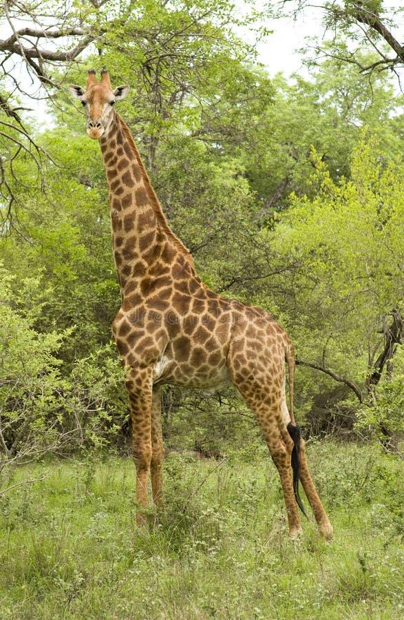 Free Male Giraffe Stock Images - 21948394