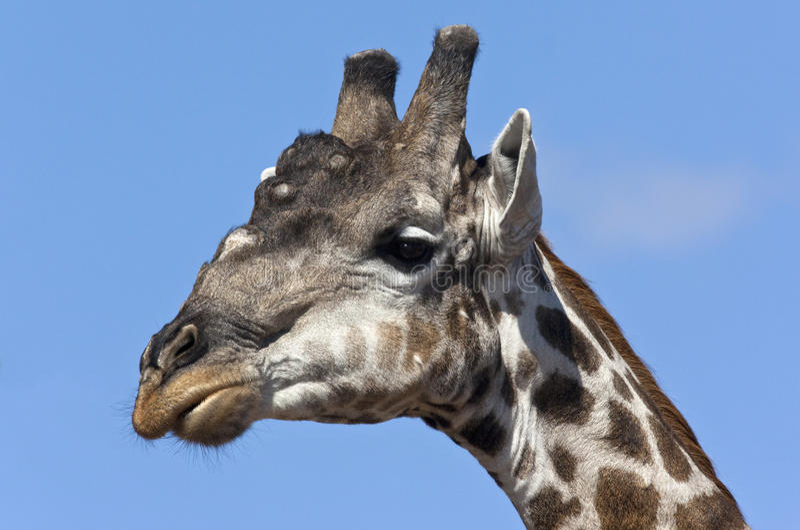 Male Giraffe - Botswana Royalty Free Stock Images