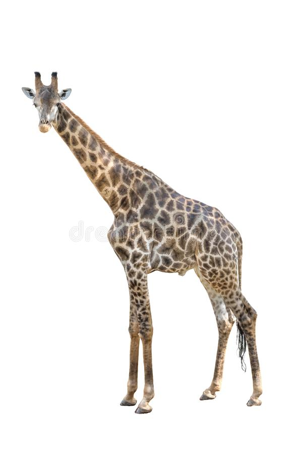 Male giraffe whole body dicut isolated on white background.  stock photography