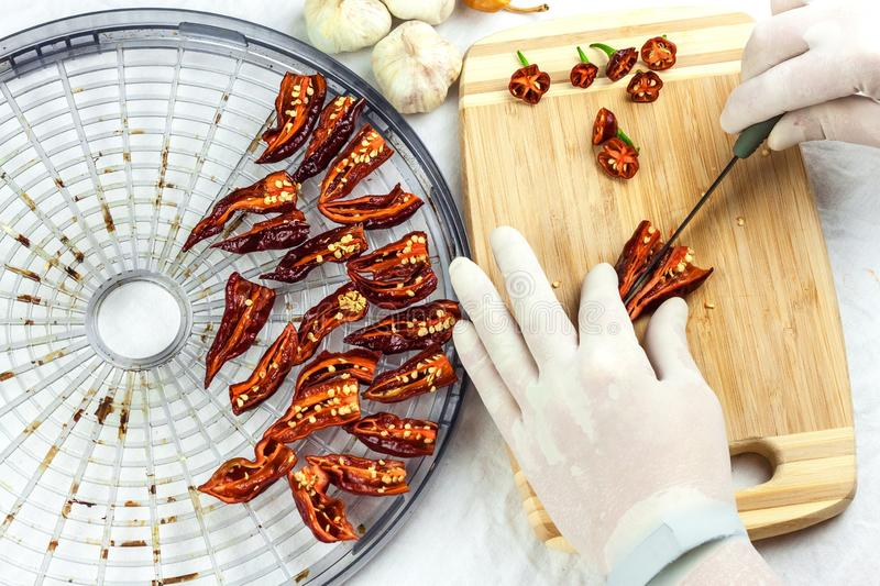 Male gloved hands sliced hot chilli pepper Bhut Jolokia Chocolate. Preparation for drying. Sale of hot spices. Healthy spices royalty free stock photos