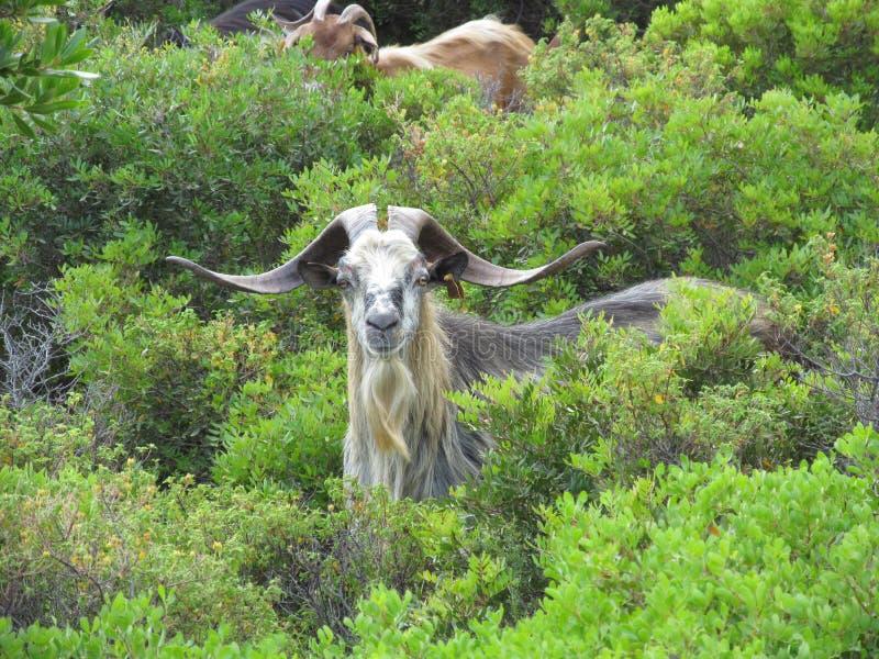 Male goat stock photos