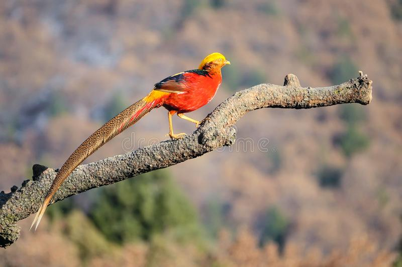 Male golden pheasant. A male Golden pheasant stands on tree trunk in mountain forest. Scientific name: Chrysolophus pictus stock images