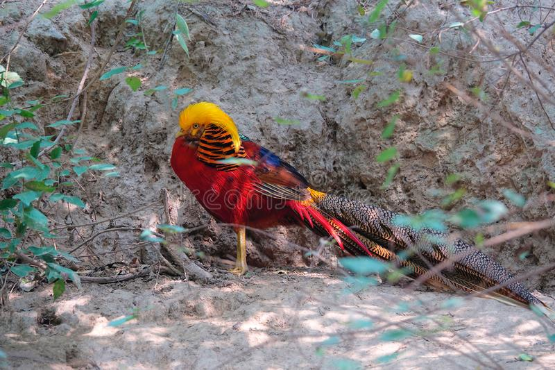 Golden pheasant. A male Golden pheasant stands in grove. Scientific name: Chrysolophus pictus royalty free stock photography