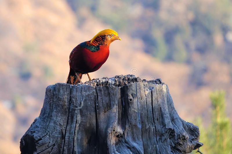 Male golden pheasant. A male Golden pheasant stands on tree stool in mountain forest. Scientific name: Chrysolophus pictus royalty free stock photo