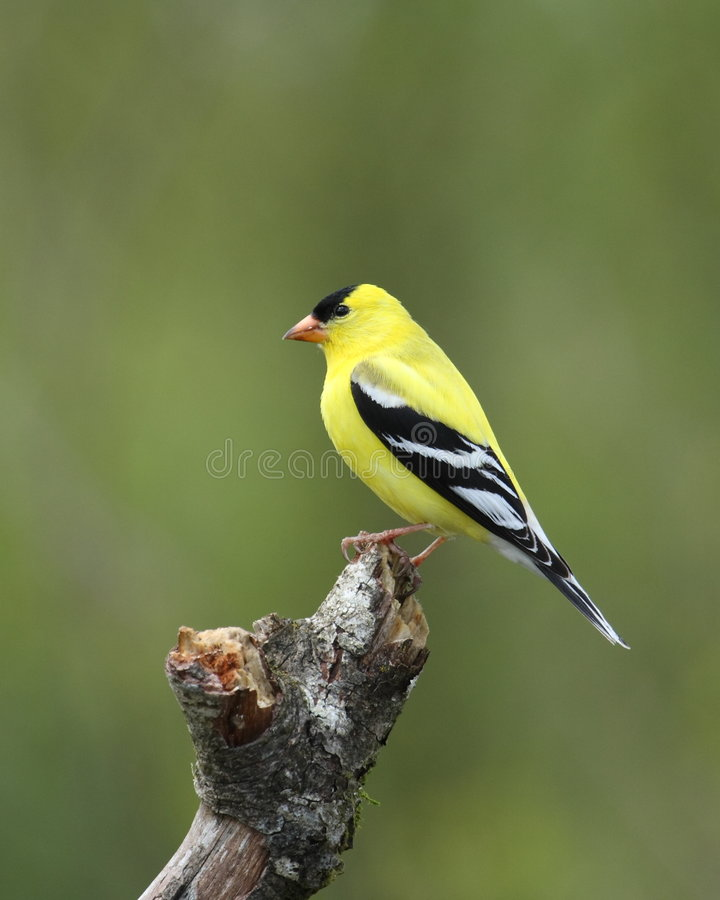 Male goldfinch royalty free stock image