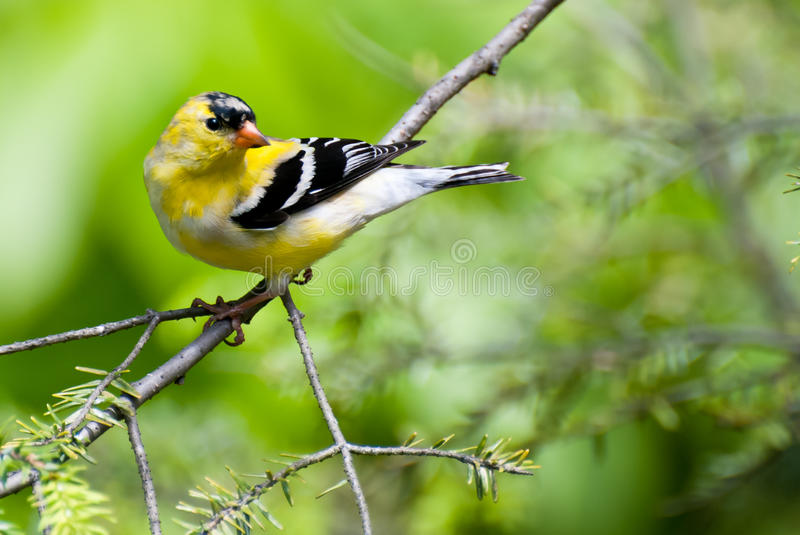 Download Male Goldfinch Changing To Breeding Colors In Spri Stock Photo - Image: 23408428