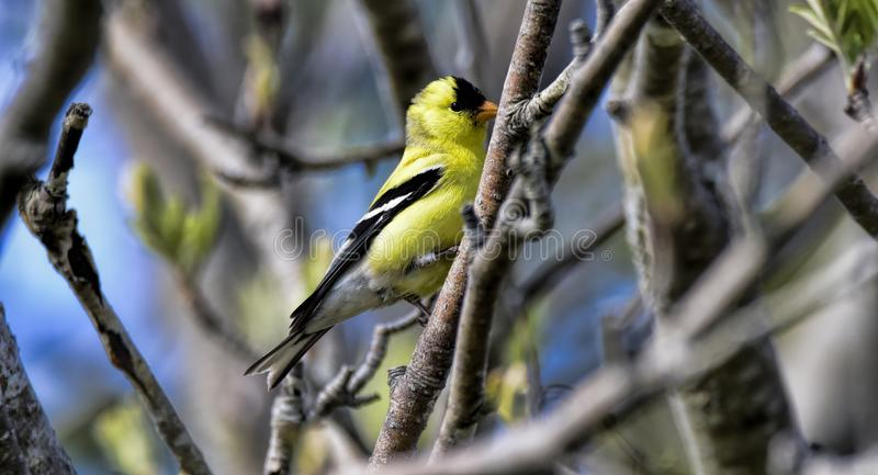 Male goldfinch in St Johns in Canada. A male goldfinch songbird on a backyard in St. Johns in Newfoundland, Canada stock image