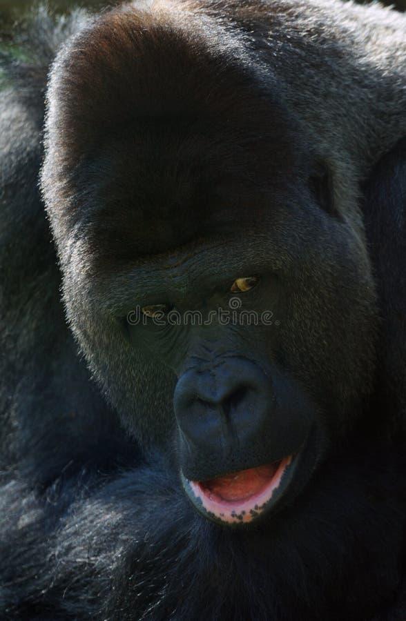 Male gorilla royalty free stock image