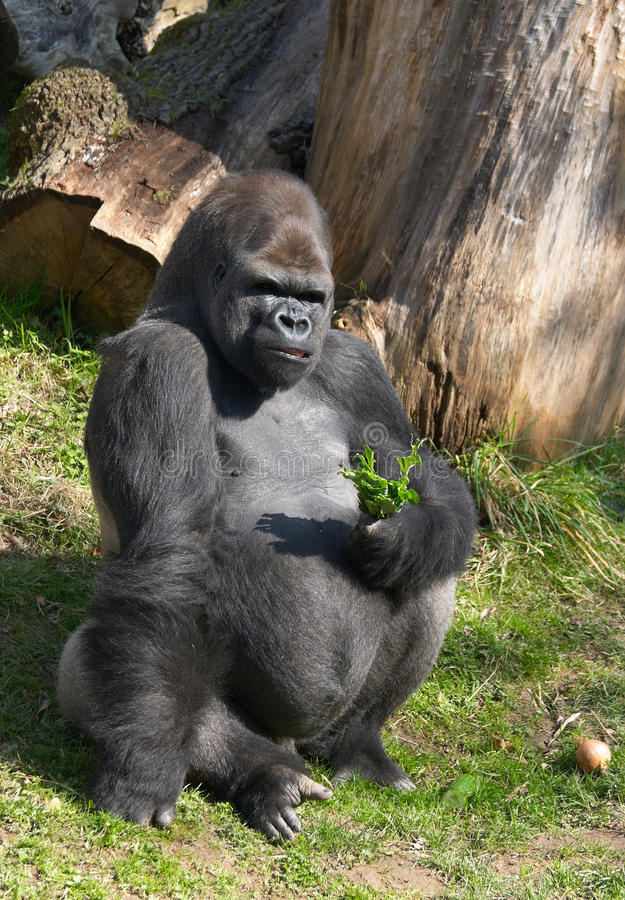 Free Male Gorilla Royalty Free Stock Images - 14247449