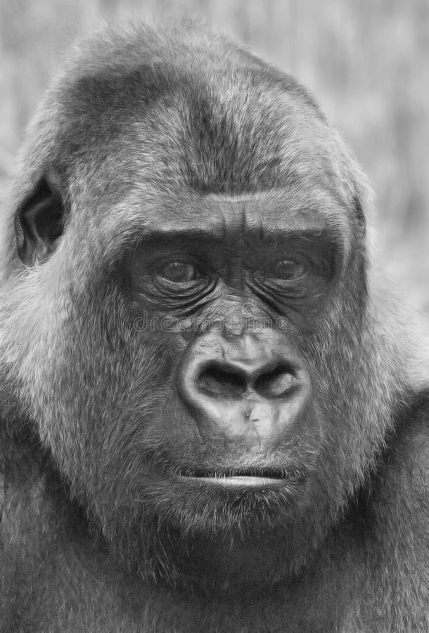 Male gorilla stock images