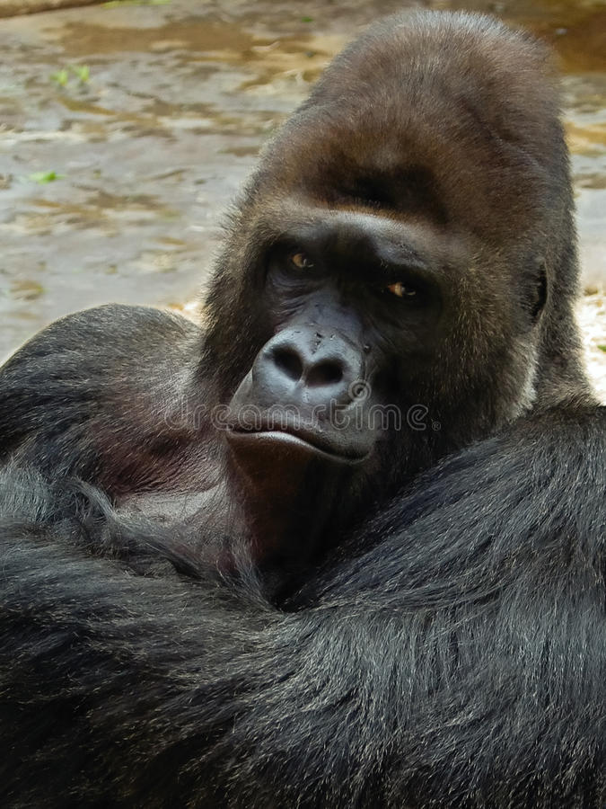 Free Male Gorilla Royalty Free Stock Photography - 37901747