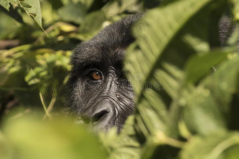 An almost human gaze in the Impenetrable Forest of Bwindi stock images