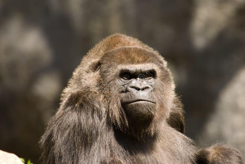 Male Gorilla portrait. Portrait of a male Gorilla in captivity stock photos
