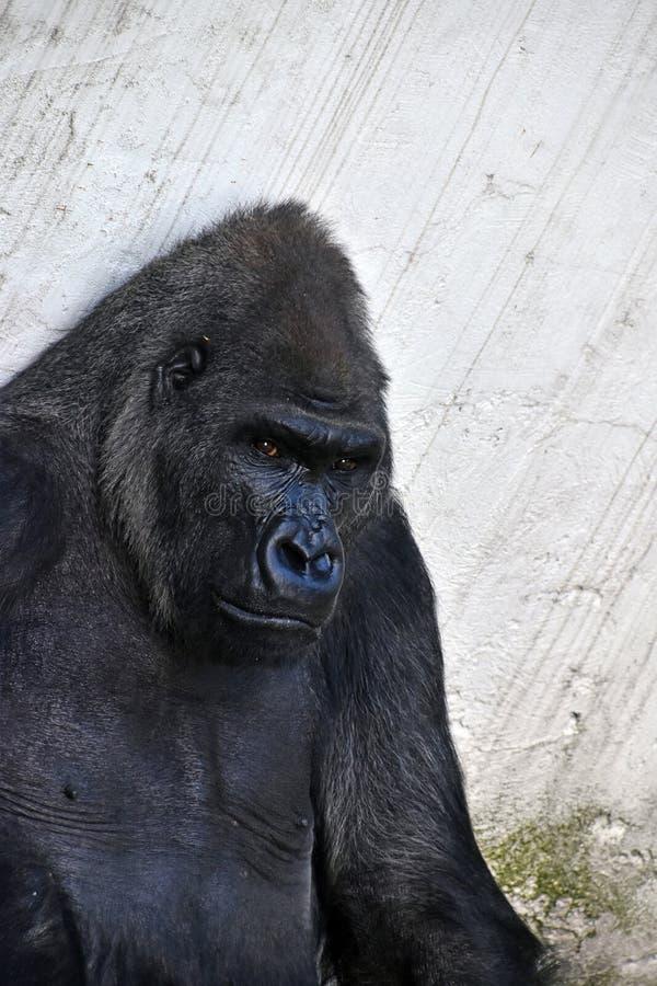 Lowland Gorilla Looking At Camera Stock Photo - Image of ...
