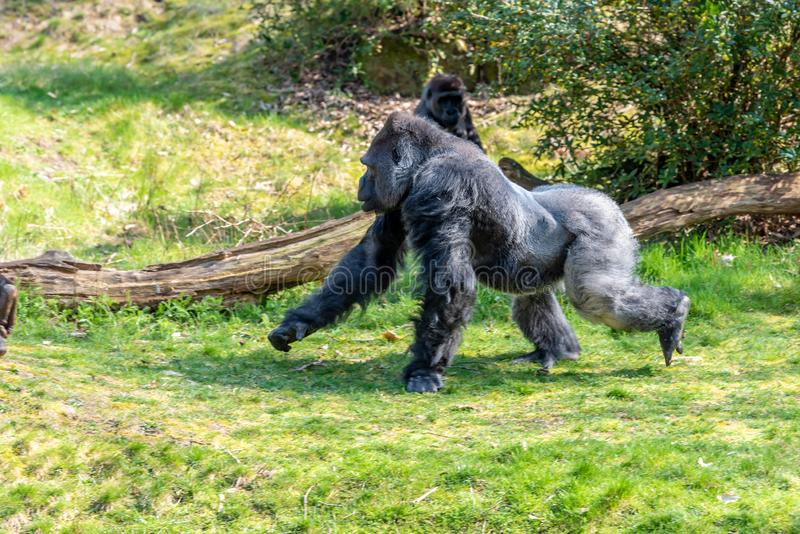 Male gorillas run to dinner hoping to be one time stock images