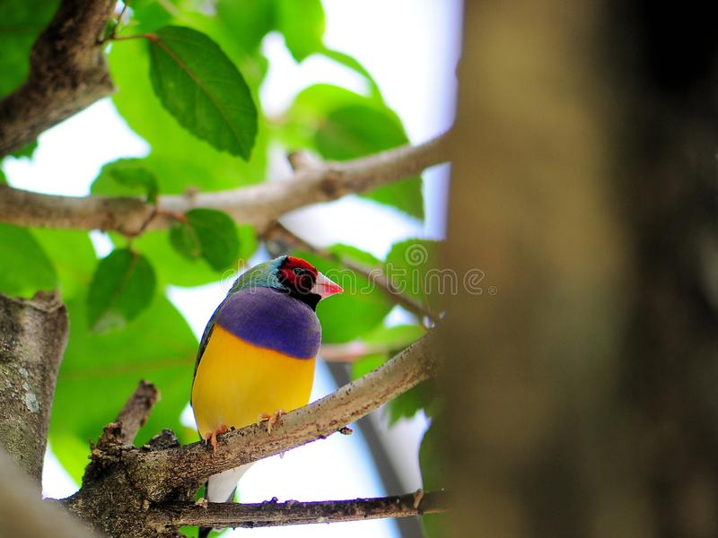 Male Gouldian Finch Bird Stock Photos