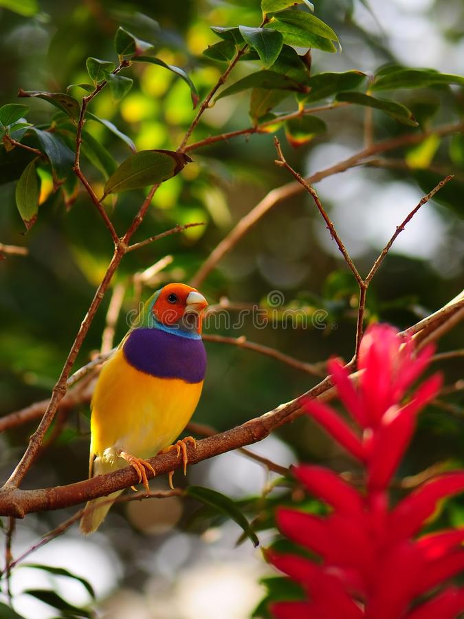 Download Male Gouldian finch bird stock image. Image of passerines - 25123641