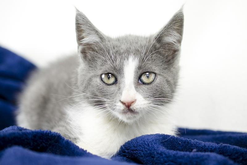 Gray and white kitten with cat toy, animal shelter adoption photo. Male gray blue and white 8 week old cat, domestic short hair, in studio on white background royalty free stock photos